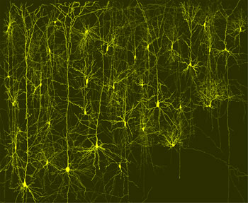 neurons in a column